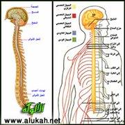 ووظيفة هذه الاعصاب توصيل المعلومات الحسية والاستجابات الحركية بين الجهاز  العصبي المركزي وجميع اجزاء الجسم . ويخرج من المخ 12 زوج من الاعصاب تعرف  بالاعصاب ...