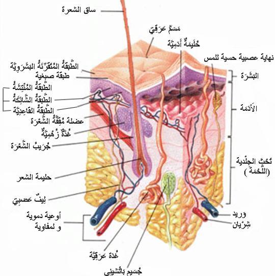 موسوعة داخل جسم الانسان بالتفصيل والصور
