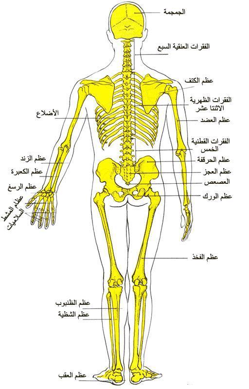 ... 3. مقدمة : إن جسم الانسان ...