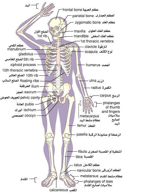 من أجهزة جسم الإنسان